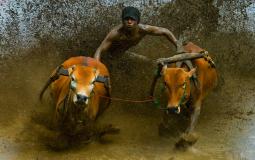 Cow Race