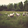 Sheep Fields