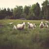 Sheep Fields